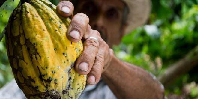 La planta de cacao, alimento básico para la producción del chocolate. Firma: Pixabay.